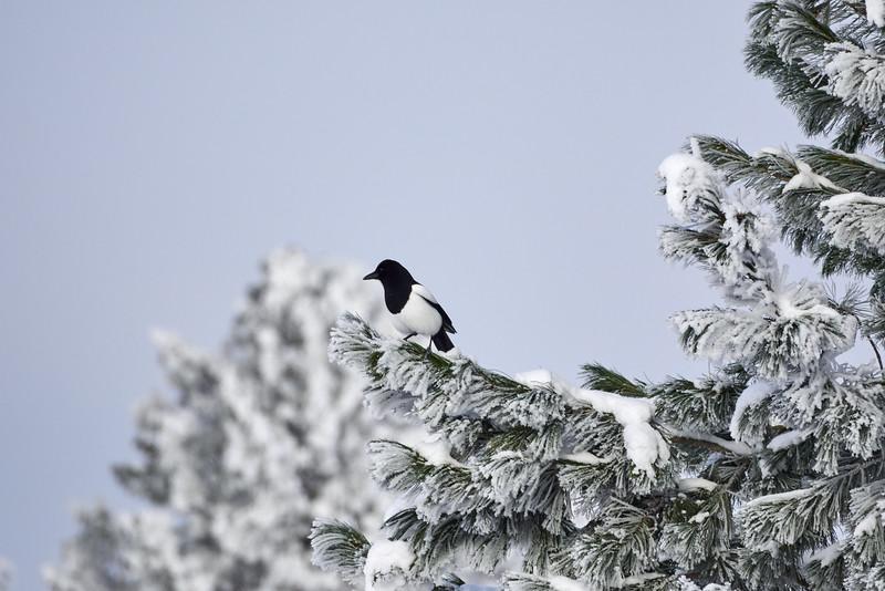 Black billed Magpie winterscape
