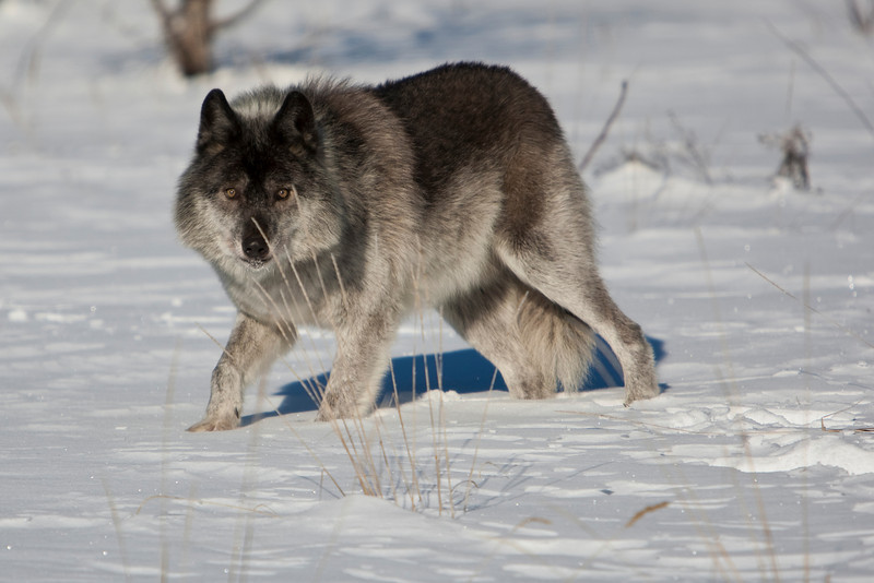 Flight or Fright?  Wolves are incredibly timid, and would much sooner run away than confront a person.