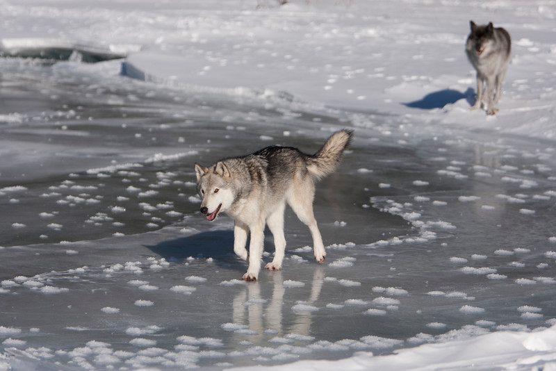 The wolf in front is holding her tail up, signifying her dominant status.  The male in the background is a subordinate, so his tail stays down always.