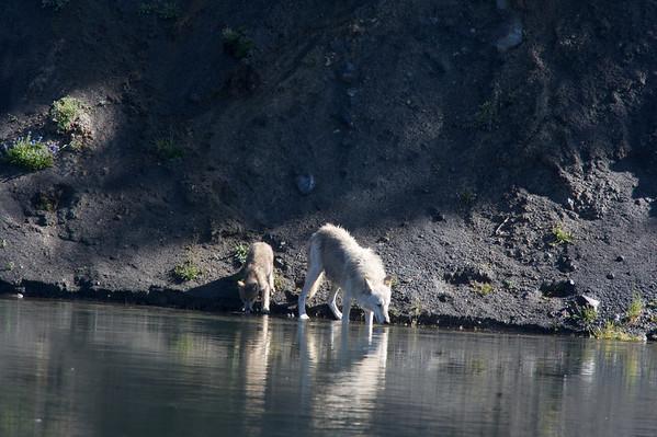 Wolfs-Yellowstone