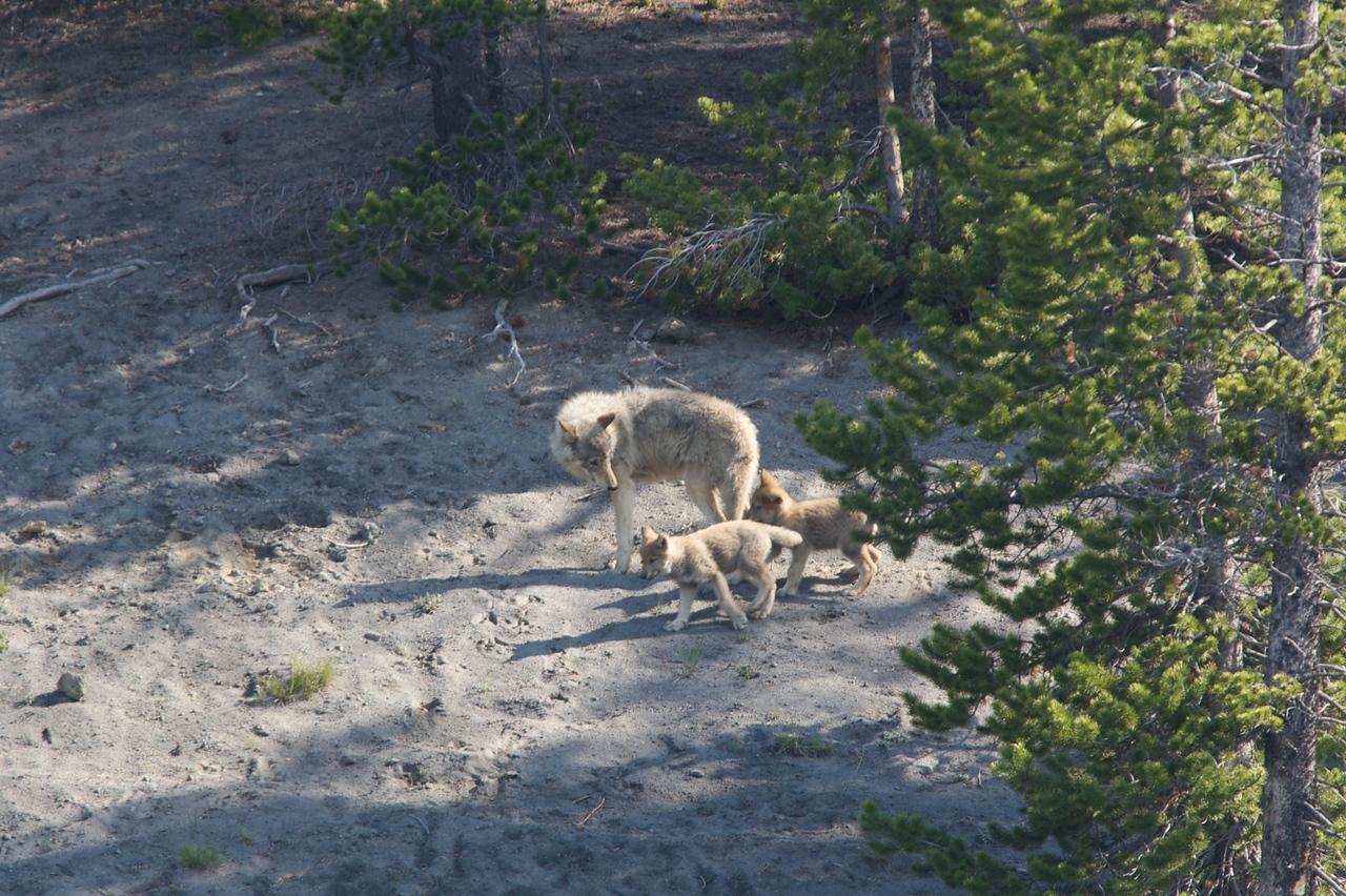 Wolfs in Yellowstone