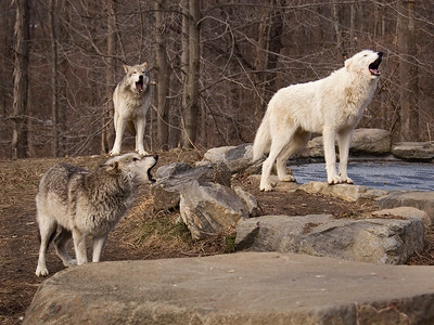 three wolves howling-9588 printed 12x9