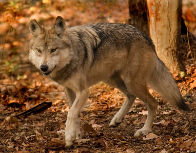 4483_Mexican Grey Wolf-WCC_printed 11x14