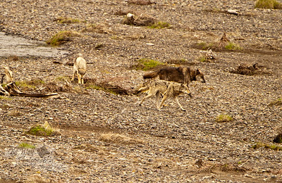 Lamar Canyon Pack: Black wolf 754M, the brother of the Alpha Male 755M, and kindly old uncle to the rest of the pack, as usual takes the lead with the yearlings showing them to a nearby meal. 754M was shot and killed in the winter of 2012-13 in Wyoming just east of Yellowstone. While he was alive he was a joy to watch, usually taking the back seat to his brother, but always there to support his family.