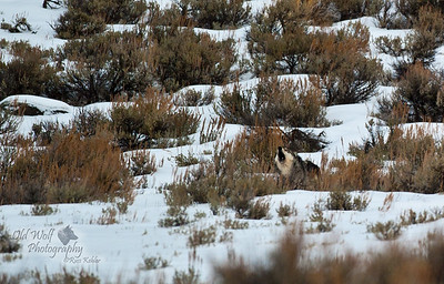 "Lamar Canyon Pack's 776F howling. In 2013 she became the Alpha Female of a new pack, the Lamar East Pack, after the shooting death of her mother, the famous ""06 FEMALE""."