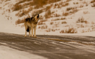 """Lamar Canyon Pack's 776F. In 2013 she became the Alpha Female of a new pack, the Lamar East Pack, after the shooting death of her mother, the famous """"06 FEMALE"""". On this occasion, she surprised me by coming up behind me on the road and howling. I'd like to say she was calling me, but it was her pack on the nearby hillside she called to."""