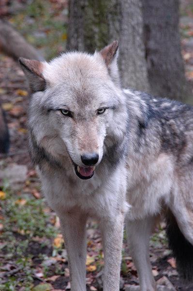 Wolf_040
