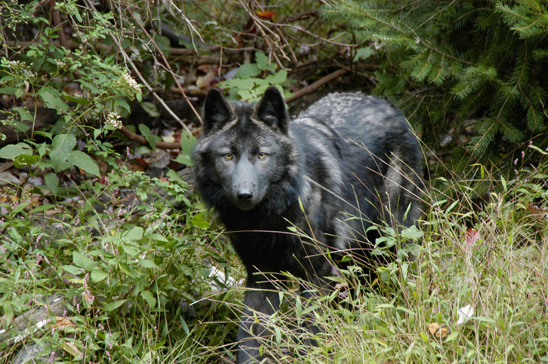 Wolf_001