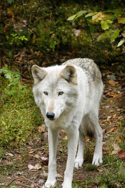 Wolf_010