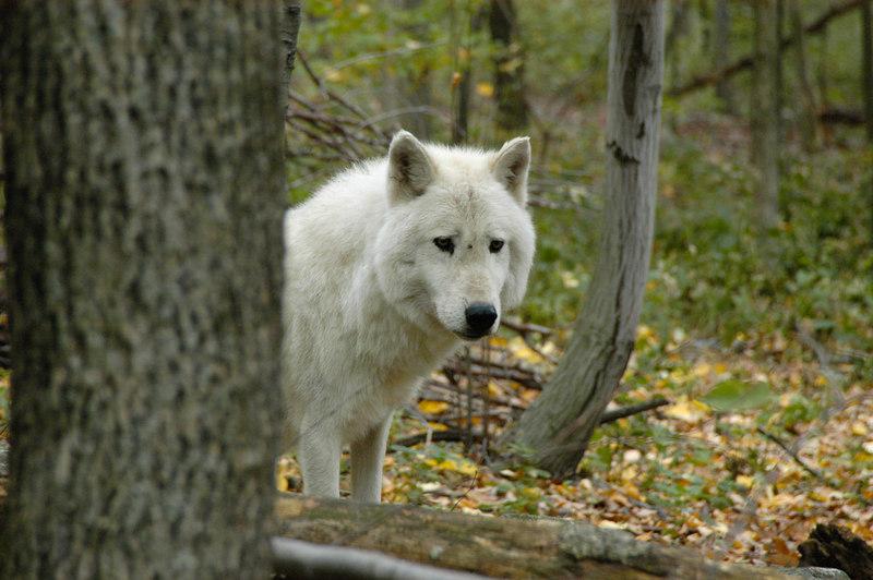 Wolf_035