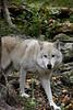 Wolf_033
