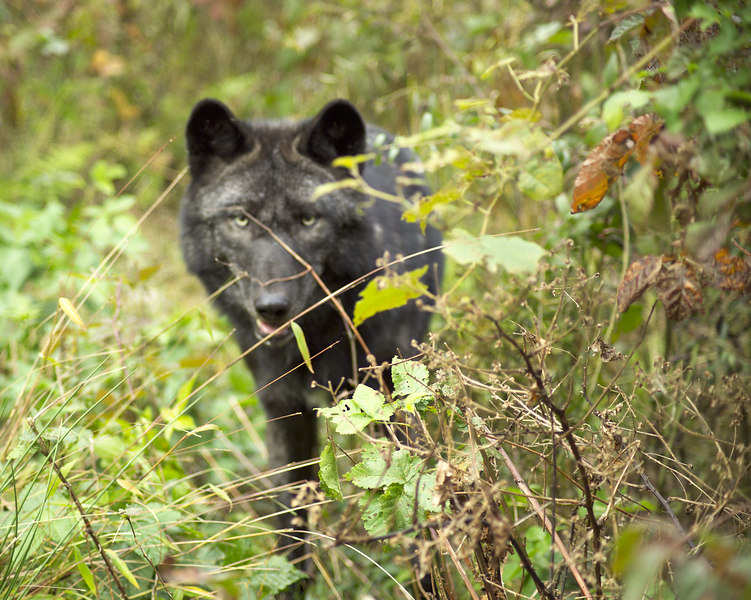Wolf_059