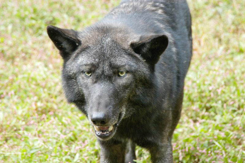 Wolf_028