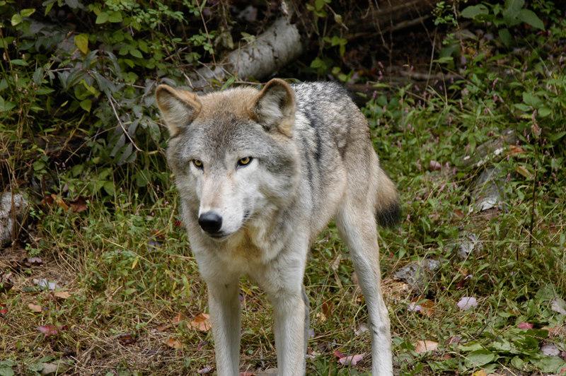 Wolf_002