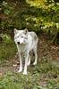 Wolf_008