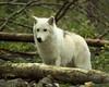 Wolf_061