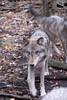 Wolf_038