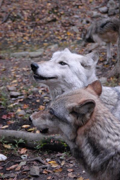 Wolf_043