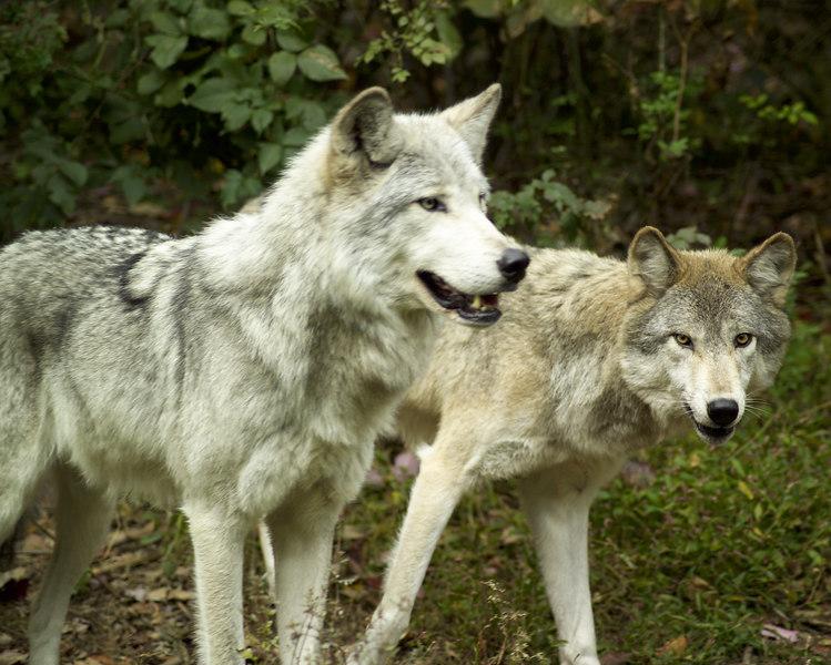 Wolf_051