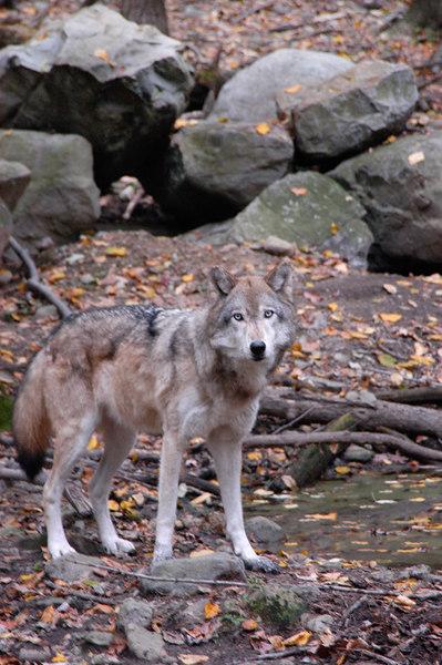 Wolf_042