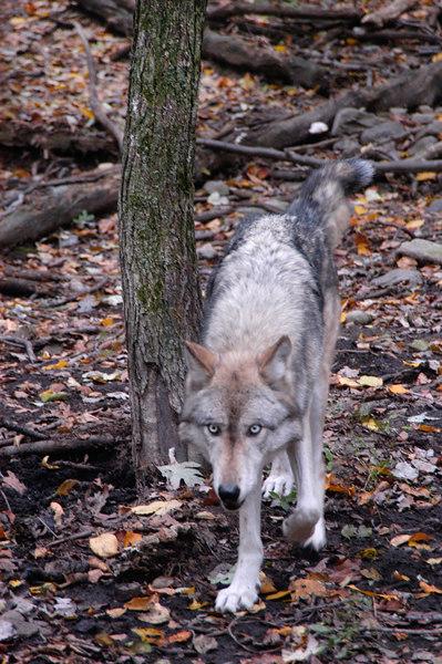 Wolf_039