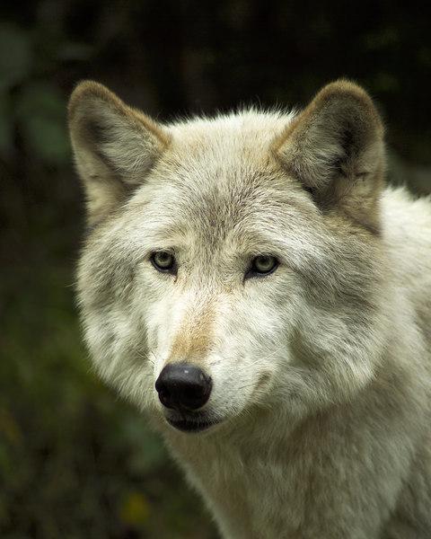 Wolf_049