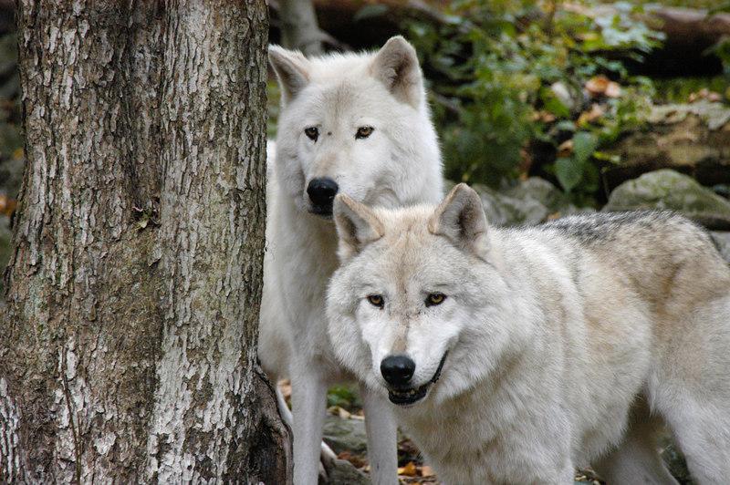 Wolf_031