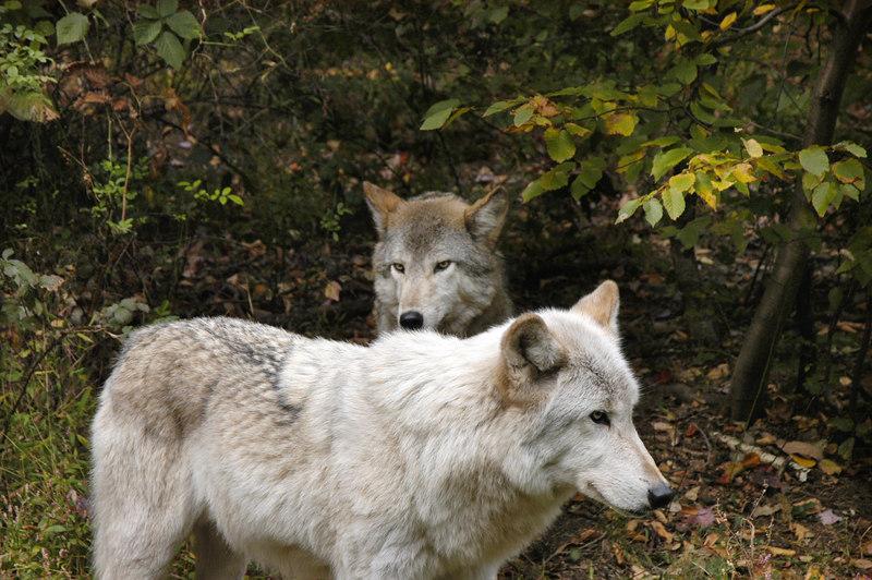 Wolf_016