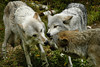 Wolf_024