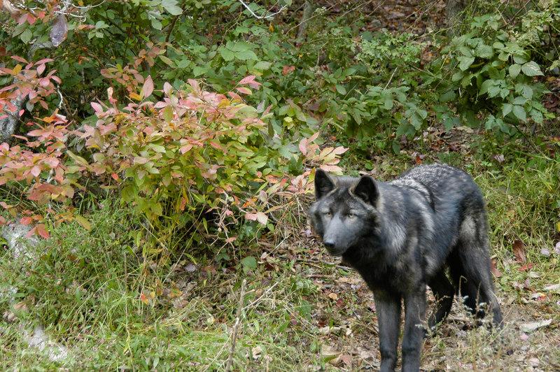 Wolf_007