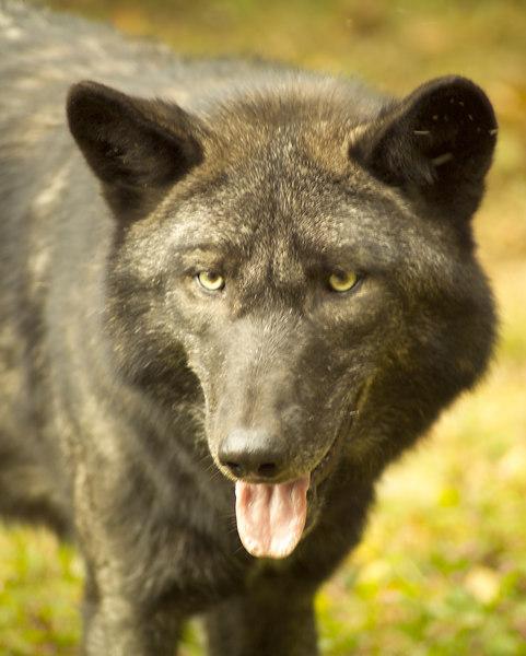 Wolf_057