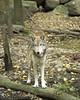 Wolf_063
