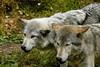 Wolf_025
