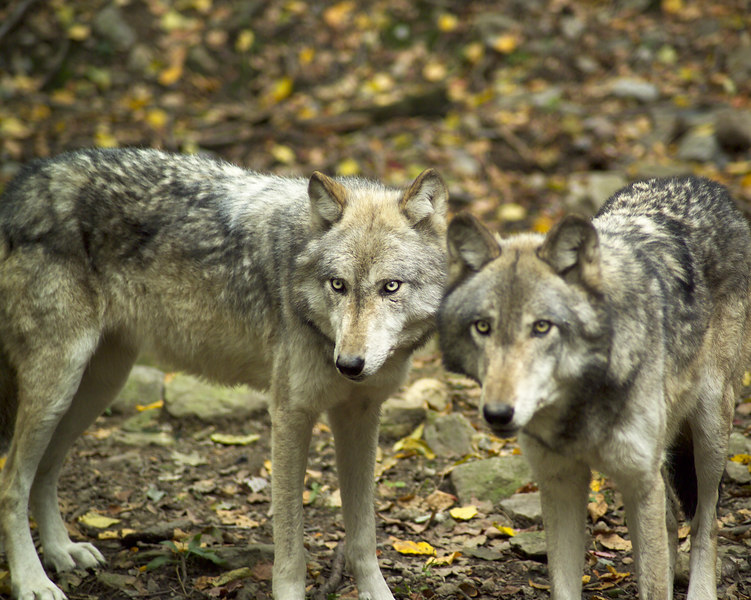 Wolf_064