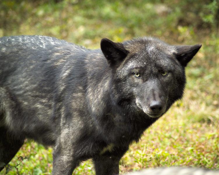 Wolf_055