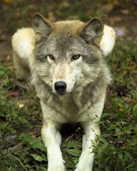 Wolf_053
