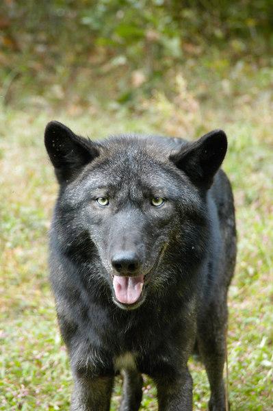 Wolf_030