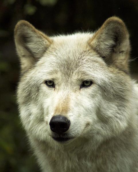 Wolf_050