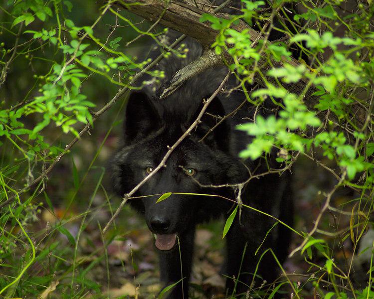 Wolf_047