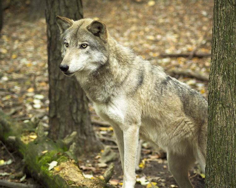 Wolf_066
