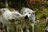 Wolf_022