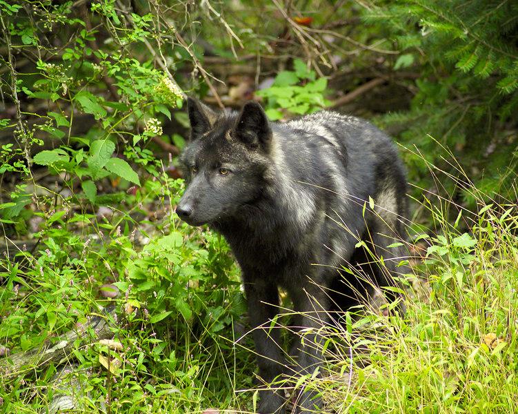 Wolf_045