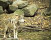 Wolf_065