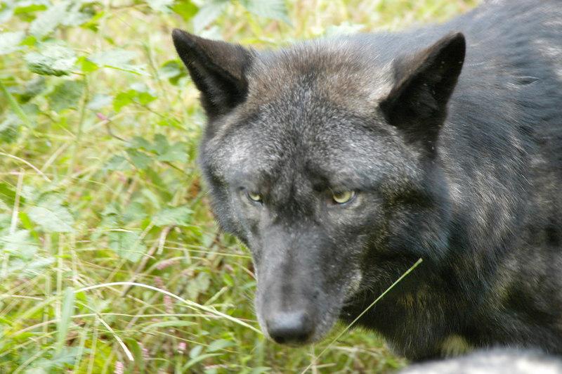 Wolf_026