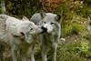 Wolf_021