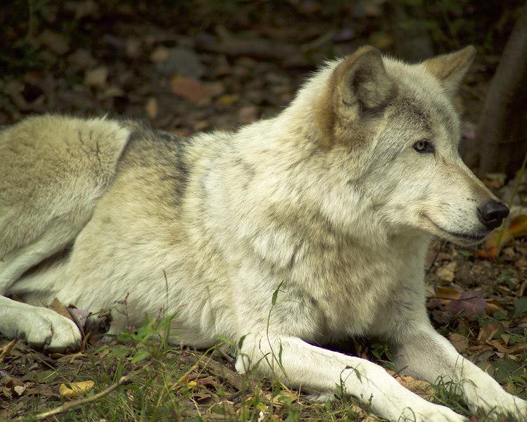 Wolf_048