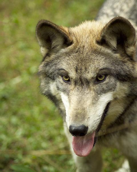 Wolf_056