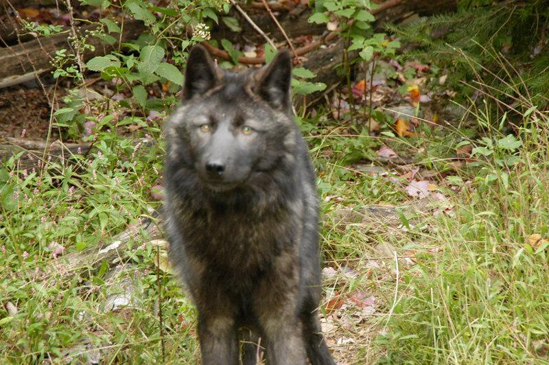Wolf_003