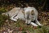 Wolf_014