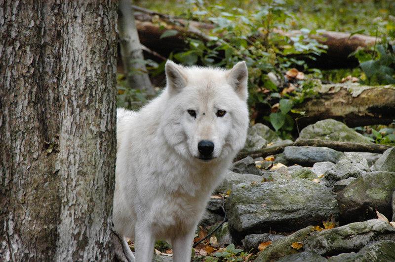Wolf_032